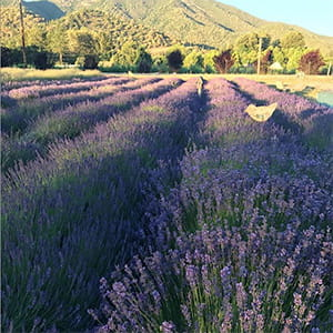 Applegate Valley Lavender Farm